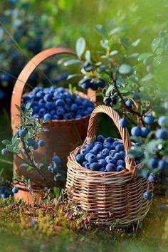Fresh Fruits And Vegetables, Fruit And Veg, Blue Bird Art, Blueberry Farm, Fruit Photography, Wild Blueberries, Beautiful Fruits, Incredible Edibles, Delicious Fruit