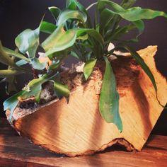 Mounted staghorn ferns @botanystudio