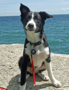 #23: Trigger the Border Collie