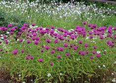 初夏に咲く!丈夫で育てやすく、花が美しいオススメの宿根草5選 | GardenStory (ガーデンストーリー) Yard, Green, Flowers, Plants, Gardening, Landscapes, Products, Paisajes, Garten