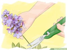 How to Prune Lilacs. Fragrant, colorful lilacs are easy to grow in most regions. Whether your lilac is a shrub or a small tree, it will need to be regularly pruned in order to maintain a healthy shape and size. To prune lilacs, get to work. Prune Lilac Bush, Lilac Pruning, Trees And Shrubs, Flowering Trees, Garden Trees, Garden Plants, Garden Organization, Lilac Tree, Lilac Bushes