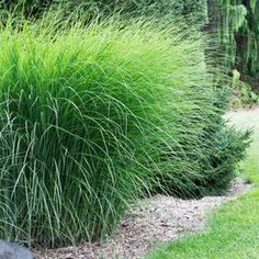 Miscanthus sinensis Gracillimus forms an upright clump of grass with green blades and silver centers. Add 3 season color to your garden with this beatiful ornamental grass.