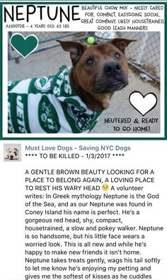 SAFE❤️❤️ 1/4/17 THANK YOU❤️❤️ Manhattan Center My name is NEPTUNE. My Animal ID # is A1100728. I am a neutered male brown black mouth cur mix. The shelter thinks I am about 4 YEARS old. I came in the shelter as a STRAY on 12/30/2016 from NY 11224, owner surrender reason stated was STRAY. http://nycdogs.urgentpodr.org/neptune-a1100728/