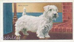 """Alkuperäiset sealyhaminterrierikortit tupakkapakkauksista, kaikki erilaiset. Kun laittaa hakusanoiksi """"Sealyham Terrier Cigarette"""" esim. Ebayhin, Amazoniin tai muuhun vastaavaan, niin saa tuloksia. Mulla on näitä vasta yksi ja siitä on kuva Meillonjo-kansiossa."""