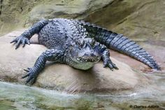 Alligator Looking For Lunch by Charles Adams on 500px