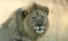 Cecil the lion's brother Jericho shot dead by poachers in Zimbabwean park | Daily Mail Online