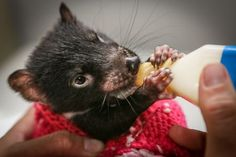 Bottle Fed Baby Tasmanian Devil Photo by Gary Brown — National Geographic Your Shot Cute Funny Animals, Cute Baby Animals, Animal Babies, Animal Fun, Rare Animals, Animals And Pets, Australia Animals, Tasmanian Devil, Creature Comforts