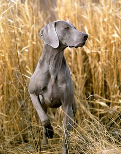 This could be a photo of my weime....LOVE it when she points like this! (Yes, my name is Weimer and i have a Weimaraner...how could i not?)