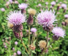 CANADA THISTLE: (Cirsium artense). Photographed along the Montour Trail in Allegheny County, PA, June 9, 2016.