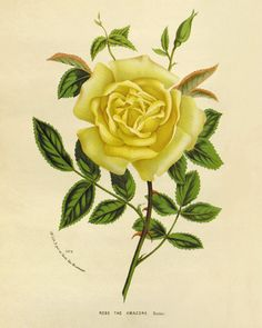 Yellow Rose antique Botanical Art Prints Home by AntiqueWallArt