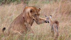 Die Löwin nähert sich dem mutigen Antilopen-Baby und tätschelt es mit seiner Hand – kurz zuvor tötete die Raubkatze die Mutter des Kleinen