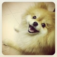 Pomeranian.  I can't help but smile whenever  I see them!  They always look like they're laughing!