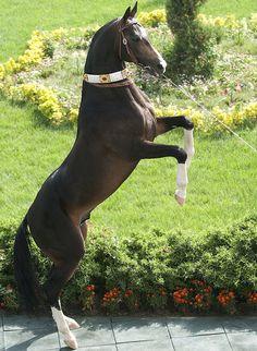 #horse #akhal #teke