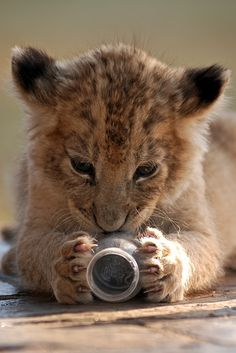 "Lion Cub: ""It's My New Toy!"""