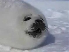 Baby Harp Seal <3 SO CUTE.
