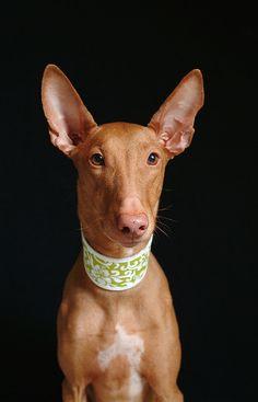 Pharoah hound