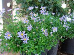 FELICIA amelloides | Evergreen Nursery
