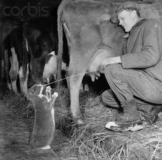 The barn cats would line up at milking time