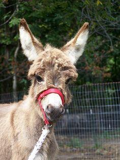 Cabinwood's J. Marlowe. Courtesy: Cabinwood Farm Miniature Donkeys, Middlefield, OH (USA).
