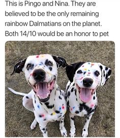The rarest puppies of all - Humour Funny Animal Memes, Dog Memes, Funny Animal Pictures, Funny Dogs, Funny Kitties, Funny Horses, Cute Little Animals, Cute Funny Animals, Funny Cute