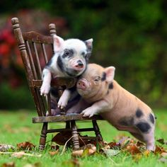 """""""2 Mini Pigs + 1 Mini Chair"""" 