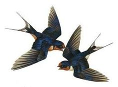 Swallow - Google Search