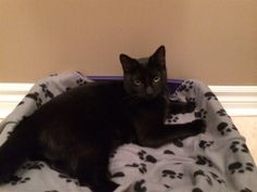 Found Cat - Domestic Short Hair - Innisfil, ON, Canada L9S 0B2 on May 01, 2014 (13:00 PM)