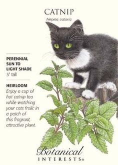 how to grow catnip from seed