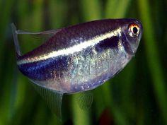 1000 ideas about Tetra Fish on Pinterest #2: c3630b15cdced1575c31fda725a04c13
