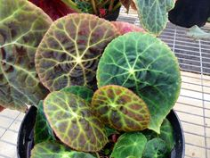 Types of Houseplant Bugs and Methods to Check Their Infestation Begonia Goegoensis House Plants, Plants, Garden, Colorful Plants, Foliage Plants, Plant Care Houseplant, Plant Care, Begonia, Unusual Plants