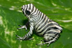 zebra frog [photoshop fake! This is a white form of Phyllobates terribilis that has zebra stripes taken from a different photo over top]