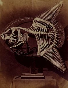 Lewis Carroll 1857 - Skeleton of the Sun-Fish