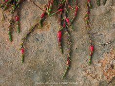 adelaide rare succulents - Google Search