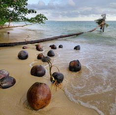Coconuts germinating on unspoiled beach, Ko Mak, Trat, Thailand