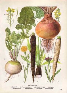 Vintage Vegetable Botanical Print, Food Plant Chart, Art Illustration, Wall Decor, Turnip. $10.00, via Etsy.