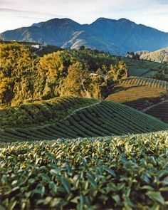 Sun rising at a tea plantation: Taiwan image gallery - Lonely Planet