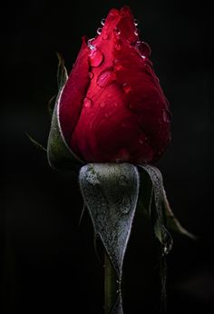 in the rain 2 Beautiful Flower Quotes, Beautiful Flowers Pictures, Beautiful Flowers Wallpapers, Beautiful Rose Flowers, Flowers For You, Flower Pictures, Love Flowers, Garden Pictures, My Flower