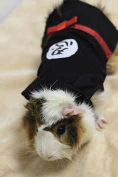 A ninja outfit for the ninja guinea pig you know.
