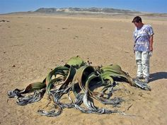 Welwitschia mirabilis If this desert plant looks like it came straight out of the age of dinosaurs, that's because it did. Two succulent leaves continuously grow from the short, thick trunk, splitting over time into strap-shaped sections. The leaves can reach twelve feet in length. These odd plants are considered living fossils and can live up to 2,000 years.