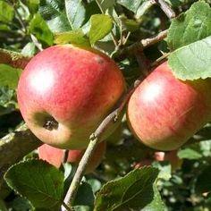 Newton Apples