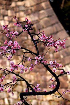 plum garden in Osaka-jo park by Eiki Yasuda Beautiful Flowers Wallpapers, Beautiful Nature Wallpaper, Flower Phone Wallpaper, Wallpaper Backgrounds, Flowers Nature, Spring Flowers, Plum Garden, Forever Green, Blossom Trees