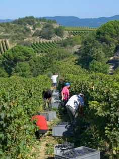 Grape harvesting in Banyuls-sur-Mer on the slopes of Catalan Pyrénées. - Pyrénées-Orientales dept. - Languedoc-Roussillon region, France  ... posted by Simeen Kadi     .....chilledandgrilled.blogspot.com