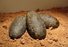 Velociraptor eggs from Dinosaur Valley State Park Museum…