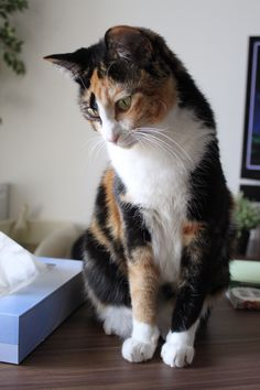 CAT 02 AL0041 01 - British Shorthair Calico Sitting On ...