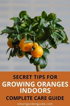 This article probvides all you need to grow a stunning indoor orange tree. I cover all aspects of orange tree care, including soil, lighting, watering, temperature, fertilizing, humidity, repotting etc. I also cover common orange tree problems, to help you identify any issues and keep your plant healthy and thriving. Indoor Flowering Plants, Blooming Plants, Indoor Gardening, Gardening Tips, Types Of Oranges, Smart Garden, Citrus Trees, House Plant Care, Tree Care