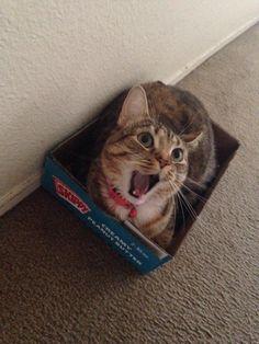 #Cats #Cat #Kittens #Kitten #Kitty #Pets #Pet #Meow #Moe #CuteCats #CuteCat #CuteKittens #CuteKitten #MeowMoe She sure loves her new box ... http://www.meowmoe.com/94897/