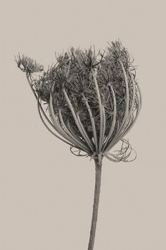 """Botanica"" by Umberto Agnello, via Behance Botanical Drawings, Botanical Art, Image Nature, Queen Annes Lace, Nature Plants, Seed Pods, Natural Forms, Flower Power, Photo Art"
