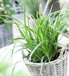 Add bright color and texture to your shade garden with this gorgeous Japenese Sedge Grass. This ornamental grass is an evergreen, but won't overtake your perennial garden. We recommend planting this taller variety towards the back of the garden as a wal Perennial Grasses, Ornamental Grasses, Perennials, Container Flowers, Container Plants, Container Gardening, Grasses For Pots, Pot Jardin, Gardens