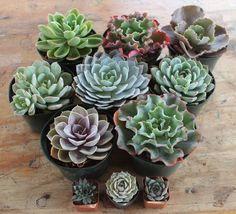 """6"""" Echeverias Succulent bulk wholesale succulent prices at the succulent source - 4"""