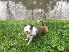 E começamos 2018 em grande com Dog-Walking com o Brownie 🙂   Que seja um ano de muitas caminhadas!  #4EveryPet #DogWalking #Brownie #Choupal